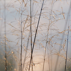 glitter in the morning (me*voil) Tags: golden grass meadow sparkles dew summer