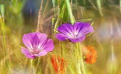 Kkol cereal (augustynbatko) Tags: wildflowers cockle nature summer macro