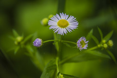 Hugging daisy (corneliu_so) Tags: daisy plant nature macro green pink processing crossshape bokeh