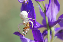 Fight (David Lev) Tags: nirim mygarden flower delphinium spider fly macro
