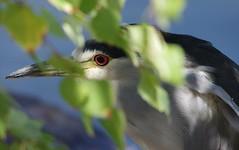 IMGP8546 (CatseyeGomez) Tags: reno nevada virginia lake bird heron blackcrowned night