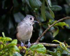 Backyard Tufted Titmouse 07-30-2016 (Jerry's Wild Life) Tags: backyardtitmouse songbird songbirds tuftedtitmice tuftedtitmouse backyard backyardtuftedtitmice backyardtuftedtitmouse