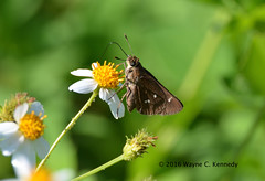 Twin-spot Skipper at Prairie Lakes WMA (wayne kennedy EDD) Tags: twinspot
