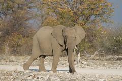 Namibia 2016 (348 of 486) (Joanne Goldby) Tags: africa africanelephant august2016 elephant elephants etosha etoshanationalpark explore loxodonta namiblodgesafari namibia safari