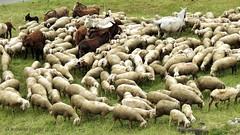 the flock of sheep - il gregge di pecore (Roberta Doro S.) Tags: flock sheep sheeps pecra pecore gregge di group gruppo montagna mountainous mountain erba green verde pastore pastor unione union unit unity pace peace natura nature pascoli grazing