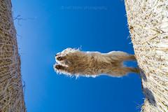 Jump (buchsammy) Tags: 2015 apsc bichon bitzer blau blue buchsammy gassi haustier havanese havaneser hund hfingen ralf sommer sonnenschein sonntag sony sonysel1670mmf4zaoss sonyalpha6000 strohballen action deutschland dog freude fun germany happy himmel joy pet sky spas strawbales summer