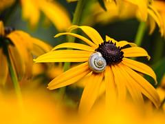 Special resting spot (Uros_N) Tags: resting spot special nikon nikonp530 p530 coolpix slovenia slovenija belakrajina whitecarniola yellow daisy snail 2016 august summer nophotoshop zoom semic petals