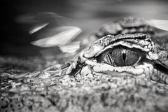 B&W Aligator Eye 3-0 F LR 8-14-16 J298 (sunspotimages) Tags: alligator reptile nature wildlife bw blackandwhite zoos zoo zoosofnorthamerica