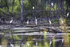 _DSC6699 The Swamp (Charles Bonham) Tags: egrets birds waterbird sonya7r olympusom300mmf45 charlesbonhamphotography foliage water reflections waterreflections swamp