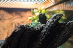 Tree frog at the Taronga Zoo in Sydney (Mister Bunny) Tags: australia sydney tarongazoo zoo mosman newsouthwales au frog
