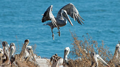 Levitation trick (mselikeshockey) Tags: pelican pelicans levitation bird beach flying