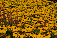 rudbeckia ful goldsturm (Duncan.B) Tags: wwtbarnes wildlife london barnes samsungnx samsung nx10 rudbeckiafulgoldsturm