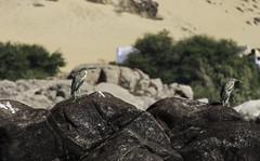 Birds of the Nile 02 (Osama Ali Photography) Tags: aswan nile water nature naturaleza natura natural egypt birds pájaros pájaro river rio agua boat barco sailing vela أسوان مصر طائر البرية طيور شجر نهر النيل حجر أحجار