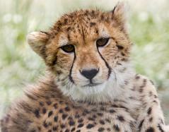 Cheetah #2 (billd_48) Tags: ohio summer animals captive thewilds cheeta cumberland oh usa