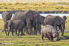 Grazers - hippopotamus (hippopotamus amphibius) & african bush elephant (loxodonta africana) (Colin Pacitti) Tags: hippopotamus hippopotamusamphibius africanbushelephant loxodontaafricana grazers elephant mammal wildanimal animal outdoor choberiver botswana coth fantasticwildlife coth5 hennysanimals ngc sunrays5 npc