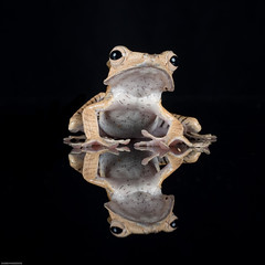 Borneo eared frog (susie2778) Tags: captive captivelight olympus omdem5mii 60mmmacrof28 bournemouth reflections borneo eared frog borneoearedfrog flash studio