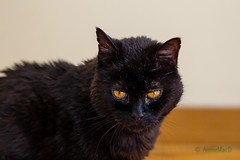 Here's my Other Boy [Explore] (AnnieMacD) Tags: applecross cat coalie culduie pets scotland westerross