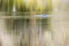 _SLN9776 (sonja.newcombe) Tags: tid tidbinbilla australia canberra wildlife platypus nikon d7000 sigmalens