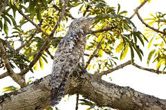 Do you know this species? ./Connaissez-vous cette espce? (geolis06) Tags: geolis06 prou peru per amriquedusud southamerica manu amazonie amazonia rainforest jungle fort forest madrededios biospherereserve parcnationaldeman mannationalpark 2016 patrimoinemondial unesco unescoworldheritage unescosite pantiacollatour nikon nikond7200 sigma sigma150600mmf563dgoshsmcontemporary potoo camouflage