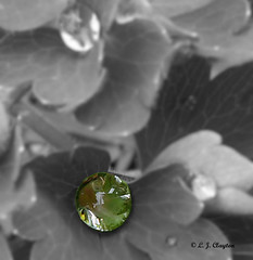 Elvis Lives! (Laurie's Lens) Tags: elvis image raindrop plant bw the king manipulation unexpected result