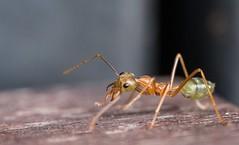 Green/Weaver Ant (kimbenson45) Tags: australia greenant oecophyliasmaragdina queensland weaverant ant brown closeup differentialfocus green insect macro nature outdoors shallowdepthoffield wildlife