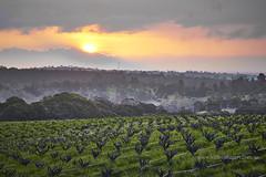 Three Springs Vineyard (Valley Imagery) Tags: schild barossa vines sunset southaustralia australia sa winter steingarten green rural valley imagery valleyimagery