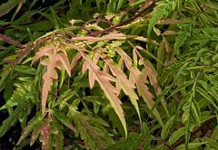 Sumac Tree (mmorriso2002) Tags: sumac tree colorchange variegation