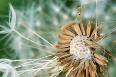 DSC_9605 (Nick Blust) Tags: dandelion lwenzahn sunset nikon d7100 macro flower nature
