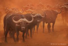 Waiting for the rains (hvhe1) Tags: kafferbuffel synceruscaffer afrikaansebuffel wildlife nature animal mammal zimanga privategamereserve safari gamedrive kaffernbüffel schwarzbüffel afrikanischerbüffel steppenbüffel buffledafrique bufflenoirdessavanes africanbuffalo capebuffalo sunset africa southafrica dust drought hvhe1 hennievanheerden specanimal specanimalphotooftheday