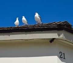 On the pier, Huntington Beach (toucanne) Tags: seagull mouette number 21 bird oiseau blue sky ciel bleu