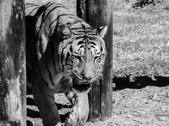 Tigre (fabakira) Tags: fabakira fabakiraphotography fabakiraphotography2016 nikon d7000 sigma sigma70200 sigmatc14 lapalmyre zoo regard animaux charentesmaritimes tigre noirblanc félin