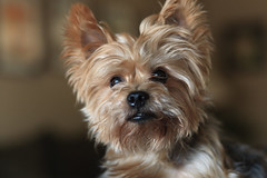 Yorkie Terrier in pose (Eck-tor) Tags: canon dallas texas portrait 5d yorkie terrier dog