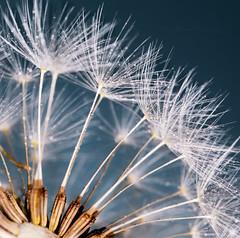 Weed or Wish Maker... (Prab Bhatia Photography) Tags: macro macromonday dandelion makeawish weed mmhandlewithcare mm closeup