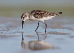 Western Sandpiper (PeterBrannon) Tags: beach bird calidrismauri florida nature reflection shorebird westernsandpiper wildlife