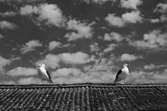 """Are you talking to me?"" ""No. Are you talking to me?"" ""No."" ""Ok."" (Fly bye!) Tags: gull bird feather cornwall newlyn sky roof seagull greatblackbackedgull beak"