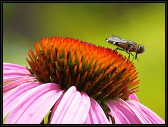 IMG_5858 View from the Mesa 7-3-16 (arkansas traveler) Tags: hoverfly syrphidfly bichos bugs insects flowers echinacea bokeh bokehlicious nature naturewatcher natureartphotography zoom telephoto
