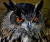 """""""Amber Eye's Thumper"""" (Galeyo) Tags: owls iloveallofnatureswildlifelevel1 me2youphotographylevel2 me2youphotographylevel3 me2youphotographylevel1 freedomtosoarlevel1birdphotosonly me2youphotographylevel4 e2youphotographylevel4"""