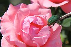 Figeater beetle on a rose. (Alexandra Rudge.Happy New Year to all!) Tags: naturaleza insectos nature animals bug insect beetle bugs animales bichos beetles escarabajo junebug bicho animalia arthropoda scarab insecto coleoptera greenbeetle insecta greenbug coleoptero scarabaeidae greenfruitbeetle escarabajos figbeetle scarabs cotinis escarabajoverde cascarudo californiawildlife cotinismutabilis cetoniinae californiaroses cetoniini laroses greenscarab losangelesroses flickrhivemindgroup alexandrarudge alexandrarudgegettyimages bichocascarudo bichocascarudoverde wildlifeofcalifornia southerncaliforniaroses alexandrarudgeflowers alexandrarudgeroses alexandrarudgeinsects alexandrarudgeimages alexandrarudgephotography