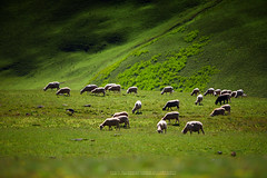 Sheep in grassland at china (isarescheewin) Tags: china road travel flowers blue summer sky cloud white mountain black tree green nature field grass sunshine animal forest landscape mammal countryside cow milk spring asia village view cattle sheep cloudy farm hill farming chinese meadow peaceful sunny farmland environment agriculture grassland herd graze