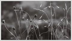 Jumble (4) (spodzone) Tags: blackandwhite plants blur art nature grass lines closeup composite sepia manipulated lens photography scotland flora warm dof emotion bokeh space places equipment zen innocence dreamy serene pentacon toned pure contrasts tranquil hdr stacked airy jumble lightanddark knapweed elegance existentialist dumfriesandgalloway digikam newtonstewart shapeandform rawconversion pentacon50mm sharpsoft enfuse calmstill darktable photivo