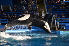 (Megakillerwhales) Tags: ocean ky whale whales orca oceans seaworld takara killerwhale unna orcas kyuquot killerwhales orcawhales cetaceans cetacean seaworldsanantonio sakari orcawhale seaworldtexas oneocean tuar nalanidreamer megakillerwhales shamumiracles