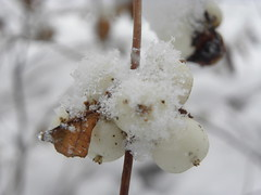 DSCN7865 (sarahamina) Tags: schnee winter white snow blanco austria sterreich berry berries nieve neve invierno blanche beeren inverno beere weiss bianco obersterreich autriche upperaustria weis innviertel mettmach sarahamina