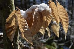 (Julia Manzerova) Tags: winter snow leaves adirondacks upstatenewyork newyorkstate
