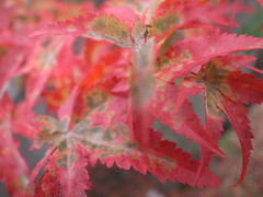 tree leaf maple japanesemaple