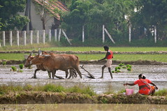 Plowing (Victoria Lea B) Tags: india rice ox plow agriculture oxen ricepaddy tamilnadu