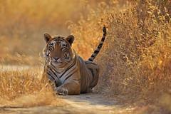 ADS_000050971 (dickysingh) Tags: wild cats india wildlife tigers ranthambore ranthambhoretigerreserve wwwranthambhorecom