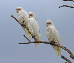 Corellas (mgjefferies) Tags: australia queensland stanthorpe mgjefferies littlecorellas