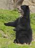 the conductor (ucumari photography) Tags: bear zoo oso smithsonian dc washington national april andean spectacled 2011 specanimal ucumariphotography dsc7938 osoandino eljuco