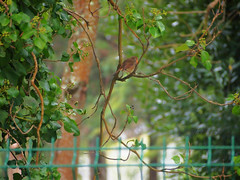 December Robin (AMoska) Tags: trees nature robin birds animals fauna fence erithacusrubecula piscodepeitoruivo natureza aves animais rvore vedao
