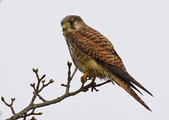 KESTREL (Edd's Images) Tags: uk winter rain canon wildlife norfolk kestrel wildbirds canon7d canonef400f56lusm